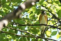 初見、初撮りのマミチャジナイさん - 鳥と共に日々是好日②