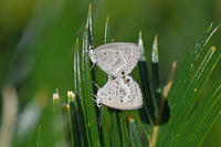 クロマダラソテツシジミ映画「慕情」と蝶 - 蝶のいる風景blog