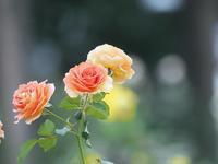 敷島薔薇園の秋薔薇8 - 光の 音色を聞きながら Ⅵ