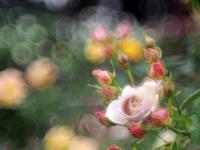 敷島薔薇園の秋薔薇9 - 光の 音色を聞きながら Ⅵ