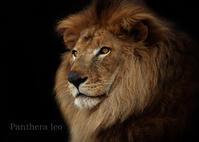 ライオン:Lion - 動物園の住人たち写真展(はなけもの写眞館)