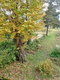 兼業農家の「桂の木」は落葉しました! - 浦佐地域づくり協議会のブログ