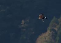 秋の伊吹山イヌワシ幼鳥その4 - 今日も鳥撮り