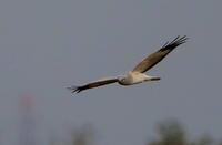 ハイイロチュウヒに逢いにその9(雄が葦原を飛ぶ) - 私の鳥撮り散歩