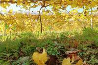 現在の葡萄園 - ~葡萄と田舎時間~ 西田葡萄園のブログ