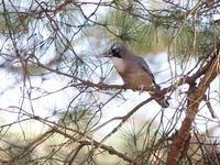 那須野が原にカケスが多い - コーヒー党の野鳥と自然パート3