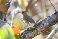 アカハラ&マミチャジナイ - ぶらり探鳥