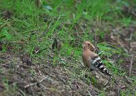 彩の国のヤツガシラ④ - 今日も鳥撮り