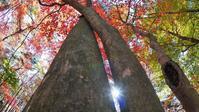 紅葉狩り・・・赤城自然園(4)・・・モミジは裏から!サンシャイン魚眼モミジ♪ - 『私のデジタル写真眼』