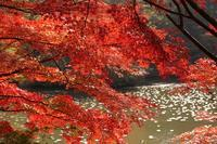 紅葉とメタセコイア並木 - kisaragi