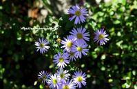 野紺菊 - 花と風の薫り