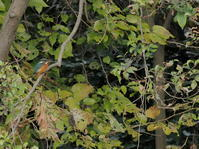 秋ヶ瀬公園・ピクニックの森 2020.11.12 - 鳥撮り遊び