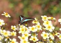 秋のチョウたち2020②ウィンターコスモスにて - 公園昆虫記