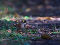 まだ・・・ミヤマホオジロ。 - 鳥見んGOO!(とりみんぐー!)野鳥との出逢い