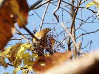 マミチャジナイとツグミも来た - コーヒー党の野鳥と自然パート3