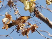 ハリギリの木にアカハラが - コーヒー党の野鳥と自然パート3