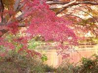 池の畔は紅葉、紅葉、紅葉 - 花と葉っぱ