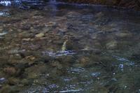 おやっ黄色い岩魚 - 「 ボ ♪ ボ ♪ 僕らは釣れない中年団 ♪ 」Ver.1