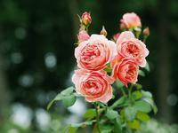 敷島薔薇園の秋薔薇10 - 光の 音色を聞きながら Ⅵ