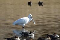 MFの沼に5年ぶりにヘラサギの姿が見られた - 私の鳥撮り散歩