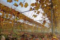 朝霧 - ~葡萄と田舎時間~ 西田葡萄園のブログ