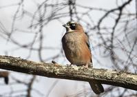 カケス&ツグミ&アトリ - くまさんの二人で鳥撮り