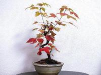ミニ盆栽のカエデの紅葉 - しらこばとWeblog
