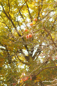 柿の木 - jumhina biyori*