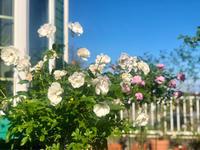 実母との喧嘩のその後^_^と、お迎えしたお花♡と、今日のバラ🌹 - 薪割りマコのバラの庭