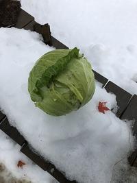 野菜作り・・雪の中からこんにちは。 - あいやばばライフ