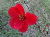 黄昏れて木瓜を愛でる - 花と葉っぱ