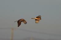田園地帯のハイイロチュウヒその9(雌の2羽を一画にて) - 私の鳥撮り散歩