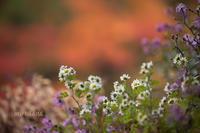 燃ゆる秋に萌え。 - MIRU'S PHOTO