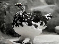 飼育下のライチョウたち - 動物園放浪記