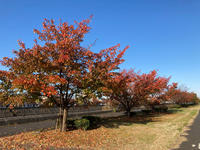 大島桜の紅葉境川の風景 - 浦安フォト日記