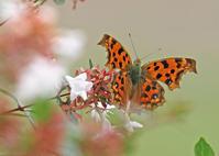 越冬前の成虫越冬蝶たち - 公園昆虫記
