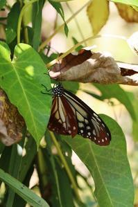 アサギマダラの産卵と幼虫ほか - 蝶超天国