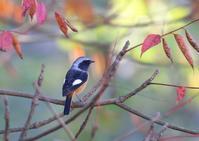 ハンサムなジョー - 写真で綴る野鳥ごよみ