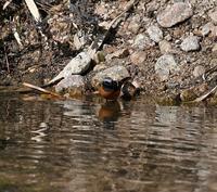 ジョウビタキホオジロ水浴び - 打出頑爺の鳥探し