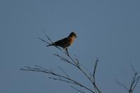 ちょこっと速報、アトリ&クロジが見られました - 葛西臨海公園・鳥類園Ⅱ