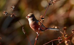 ベニマシコ雄 - 野鳥彩々