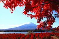 令和2年11月の富士(8)河口湖のコキアとモミジと富士 - 富士への散歩道 ~撮影記~
