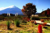 令和2年11月の富士(9)大石公園花街道のコキアと富士 - 富士への散歩道 ~撮影記~