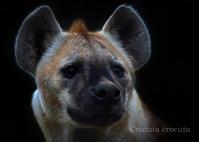 ブチハイエナ - 動物園の住人たち写真展(はなけもの写眞館)