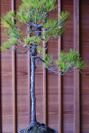 ちょっと心配な赤松。 - 盆栽日記-the experimental bonsai diary-