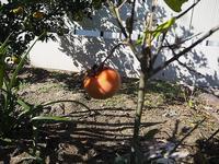 小さい柿の木 - HAIKU/ summer PHOTO