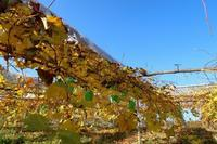 暖かい晩秋 - ~葡萄と田舎時間~ 西田葡萄園のブログ