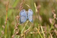 クロマダラソテツシジミ11月14日 - 超蝶
