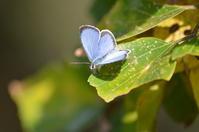 ヤクシマルリシジミ 11月15日 - 超蝶