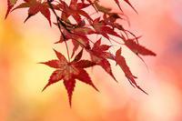 紅葉のクローズアップショットは明るい色で - スポック艦長のPhoto Diary